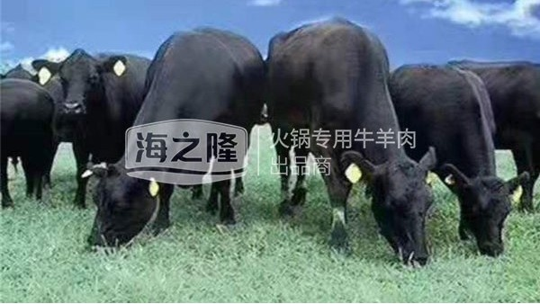 海之隆澳洲黑牛