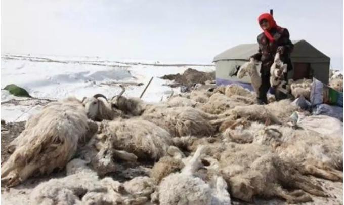 内蒙古雪灾牛羊价上涨
