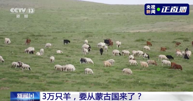 蒙古国捐赠3万只羊去向